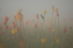 Red Hot Pokers by Vincent Munier