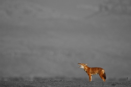 Ethiopian Wolf by Vincent Munier