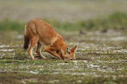 Ethiopian Wolf by Vincent Munier