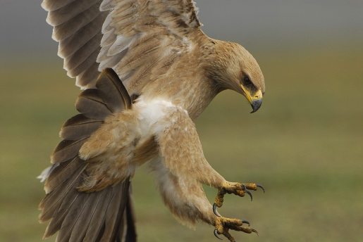 Tawny Eagle by Vincent Munier