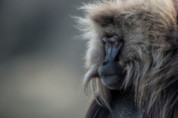 Gelada Monkey by Vincent Munier