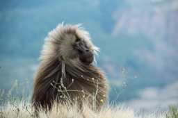 Gelada Monkey by Vincent Munier