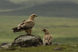 Tawny Eagles by Delphin Ruche