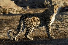Leopard in the Bale Mountains by Delphin Ruche