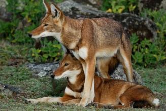 Ethiopian Wolf by Delphin Ruche