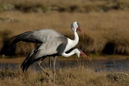 Wattled Cranes by Delphin Ruche