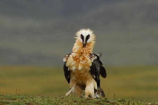 Bearded Vulture by Delphin Ruche