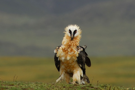 Bearded Vulture by Delphin Ruche