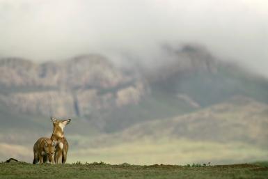 Ethiopian Wolves by Delphin Ruche